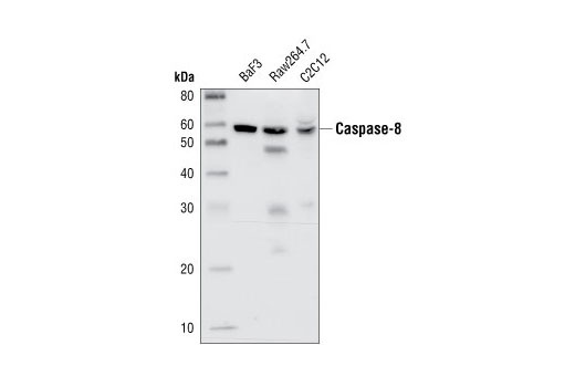 Western Blotting Image 1: Caspase-8 Antibody (Mouse Specific)