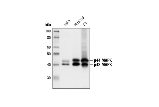 Image 39: PDGF Receptor Activation Antibody Sampler Kit