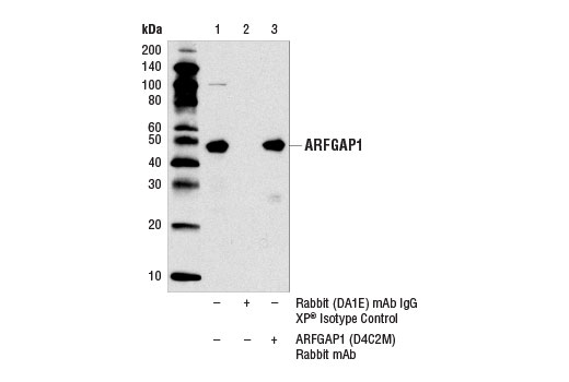 Immunoprecipitation Image 1: ARFGAP1 (D4C2M) Rabbit mAb