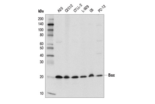 Western Blotting Image 1: Bax (D3R2M) Rabbit mAb (Rodent Preferred)