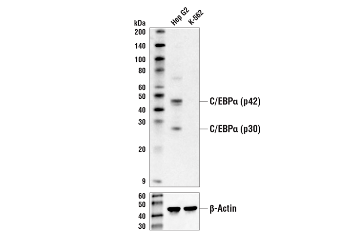 Western Blotting Image 1: C/EBPα (D56F10) XP® Rabbit mAb (Biotinylated)
