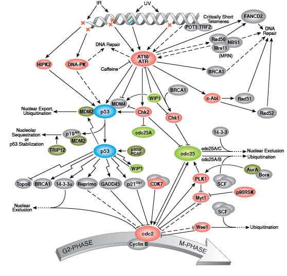 细胞周期 G2/M DNA 损伤信号转导